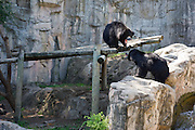 Two bears growling at the Fort Worth Zoo in Fort Worth, Texas.