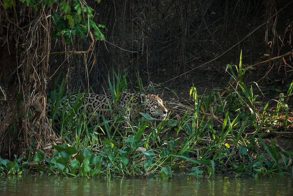 Jaguar (Panthera onca) male<br /> Northern Pantanal<br /> Mato Grosso<br /> Brazil<br /> (Mick Jaguar)