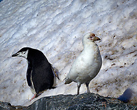 You Look Your Way, I'll Look My Way. Snowy Sheathbill and Chinstrap Penguin on Elephant Island. Image taken with a Leica T camera and 18 -56 mm lens (ISO 100, 55 mm, f/16. 1/500 sec) Raw image processed with Capture One Pro 8, Focus Magic, and Photoshop CC.