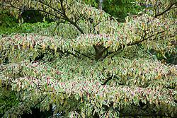 Cornus controversa 'Variegata' in autumn. Dogwood