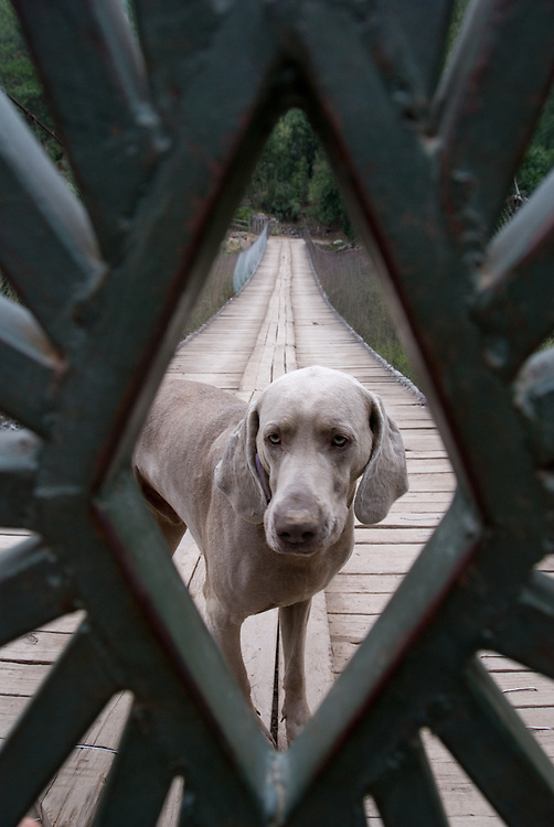 Dog behind a gate on a bridge in Maipo Canyon, Chile.