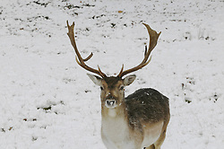 © under license to London News Pictures. 30.11.2010 A Stag in the snow at Knole Park in Sevenoaks,Kent. today.. Picture credit should read Grant Falvey/London News Pictures