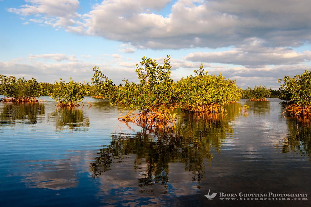 US, Florida, Key Largo. Mangrove forest.