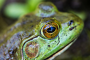 American bullfrog in a pond in Acadia National Park, Maine, North America