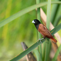 The chestnut munia or black-headed munia (Lonchura atricapilla) is a small passerine. It was formerly considered conspecific with the closely related tricoloured munia, but is now widely recognized as a separate species.