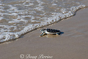 Australian flatback sea turtle hatchling ( Natator depressus ) (c-r), enters ocean for the first time, Crab Island, off Cape York Peninsula, Torres Strait, Queensland, Australia