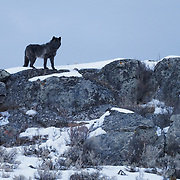 Gray Wolf (Canis lupus), Blacktail Plateau., Yellowstone National Park, Montana