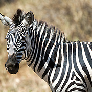 A zebra looks at the camera at Tarangire National Park in northern Tanzania not far from Ngorongoro Crater and the Serengeti.