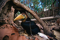 Knobbed Hornbill (Aceros cassidix) chick on the ground after emerging from nest (perhaps too early to fly?).Tangkoko Batuangus/Dua Saudara Nature Reserve, Sulawesi Island, Indonesia.