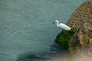 Little Egret (Egretta garzetta) Photographed in Israel in February