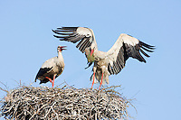 White stork (Ciconia ciconia) pair at nest site. Lithuania. Mission: Lithuania, May 2009