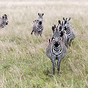 """Zebras in formation in the Maasai Mara, Kenya, Africa.<br /> <br /> *For all details about sizes, paper and pricing starting at $85, click """"Add to Cart"""" below."""