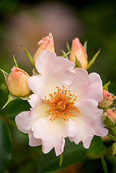 Rosa The Simple LIfe syn. 'Hartrifle'