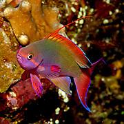 Scalefin Anthias inhabit reefs. Picture taken Fiji.