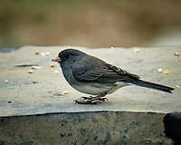 Dark-eyed Junco. Image taken with a Fuji X-T2 camera and 100-400 mm OIS lens.