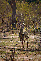 A lone male Kudu in Chobe National Park, Botswana