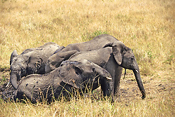 Elephant Wallowing In The Mud