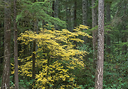 Vine maple in the Willamette National Forest of Oregon brings vivid color to a desne Douglas Fir forest