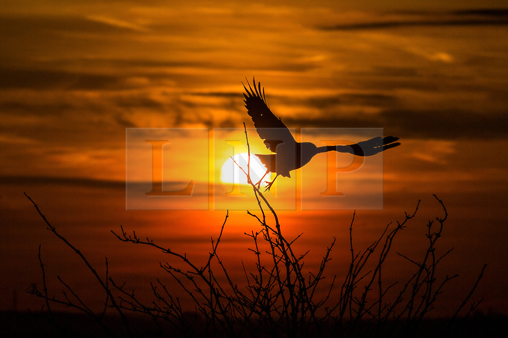 © Licensed to London News Pictures. 25/01/2016. Baildon UK. A bird flies from a tree in this mornings sunrise on Baildon Moor as Britain braces itself for more bad weather as fears grow that Storm Jonas will hit Britain. Photo credit: Andrew McCaren/LNP