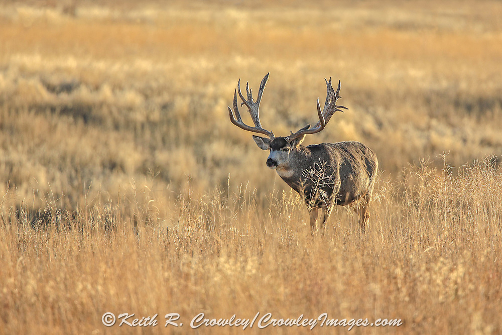 A gigantic non-typical mule deer buck in open grassland habitat.