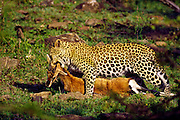 Kenya, Masai Mara, national reserve, leopard with kill, a Thomson's gazelle.
