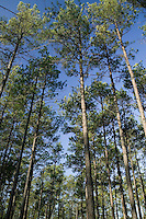 Southern Pine trees in Arkansas
