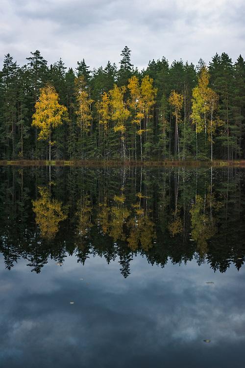 "Yellow birch trees (Betula sp.) and their reflections add color to dark boreal forests and  mirror-like lake on late autumn evening, at lake Darva, ""Darvas ezers"" near Cirgaļi, Latvia Ⓒ Davis Ulands | davisulands.com"