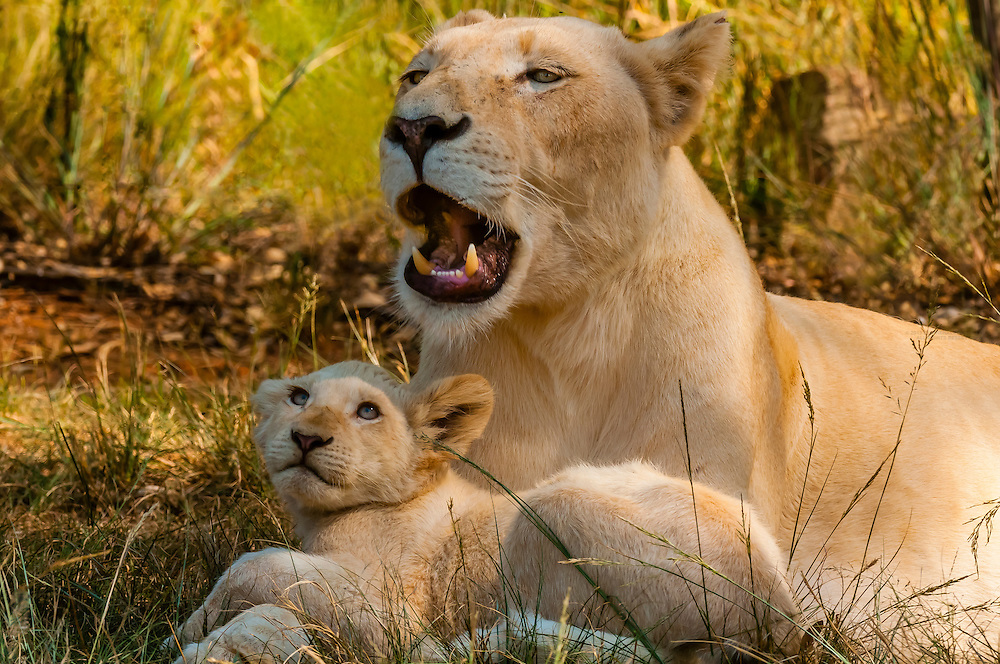 White lion mother lion and her cub relaxing in the shade. Lion Park, near Johannesburg, South Africa. The white lion is a rare color mutation of the Timbavati region of South Africa.