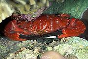 red coral crab, Etisus dentatus, Layang Layang Atoll, Malaysia ( South China Sea )