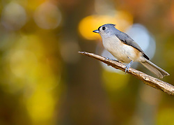 A Tufted Titmouse Soaking Up Some Seasonal Foliage Bokeh In The Trees