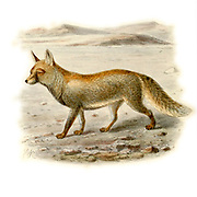 """Desert Fox (Canis leucopus) From the Book Dogs, Jackals, Wolves and Foxes A Monograph of The Canidae [from Latin, canis, """"dog"""") is a biological family of dog-like carnivorans. A member of this family is called a canid] By George Mivart, F.R.S. with woodcuts and 45 coloured plates drawn from nature by J. G. Keulemans and Hand-Coloured. Published by R. H. Porter, London, 1890"""