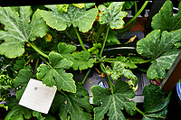 AeroGarden Farm 05-Right. Zucchini Plants (74 days). Image taken with a Leica TL-2 camera and 35 mm f/1.4 lens (ISO 400, 35 mm, f/8, 1/30 sec).