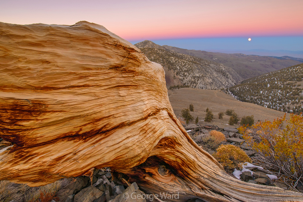 Ancient Bristlecone Pine Snag and Rising Moon, The White Mountains, Inyo National Forest, California