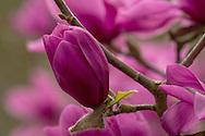 Magnolia 'Margaret Helen' in The Valley Gardens, Windsor, Surrey UK