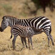Burchell's Zebra, (Equus burchelli) Baby nursing. Serengeti Plains. Masai Mara Game Reserve. Kenya. Africa.
