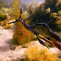 Article - Seadragons  / Eaglerays Flinders