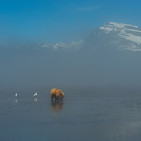 Grizzly bear clamming in the Cook Inlet in Lake Clark National Park Alaska.