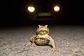 Toads on roads