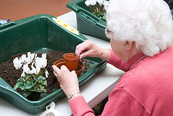 Visually impaired woman potting on a cyclamen plant in a Thrive gardening workshop visiting the NRSB,