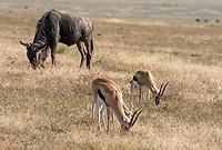 Thomson's Gazelles, Eudorcas thomsonii, and Wildebeest, Connochaetes taurinus, in Ngorongoro Crater, Ngorongoro Conservation Area, Tanzania