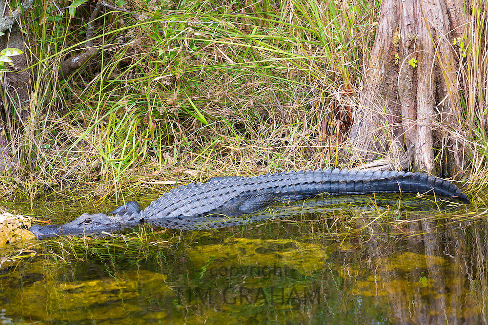 American alligator by bald cypress tree and Turner River by Tamiami Trail in the Florida Everglades, United States of America