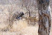 Kruger National Park, South Africa -  <br /> <br /> Tourist Captures Incredible Fight Between Three Lions That Fail To Bring Down An Injured Buffalo. <br /> <br /> We got to Phelwana Bridge in Kruger National Park in South Africa and saw quite a few cars there. As we approached we saw this buffalo sitting on the floor about 10 meters from the road.We were told it was injured and there were lions about 20 meters behind the buffalo.We could not see the lions at that time.As time went on we saw this lions lifting their heads up and down.Sat there for about an hour and nothing happened.The buffalo then tried to lift itself up, with great difficulty, and after some time managed to get on its feet.As it stood up this female lioness came walking towards it and jumped onto the buffalo's back trying to pull it down.The female lioness was injured in the back leg and looked as if it had tried to attack the buffalo previously and was injured in the process.The buffalo started snorting and walking with the lioness on its back trying to escape.It came towards the roads and hit a car in the rear bumper and the lioness couldnt hold on and jumped off.The buffalo still on the road hit another car in the front bumper with its horn.The 2 huge male lions came walking towards the road and just sat down in the distance.After a some time again the female tried 2 more times to bring down the buffalo but with no success. this is after the 2nd attack, lioness playing waiting game, in the background are 2 male lions, zoom in to see.<br /> <br /> Photo Shows: Lioness attacks Water Buffalo lioness courage too strong, doesnt want to let go,biting at the buffo's legs. <br /> © Exclusivepix)