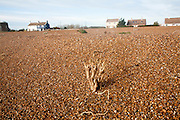 The coastal hamlet of Shingle Street seen from the beach, Suffolk, England - sea kale plant in foreground stripped of leaves by recent storm.