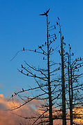 Several dozen double-crested cormorants (Phalacrocorax auritus) roost in a tree along the Sammamish River in Kenmore, Washington, as others fly in to join at dusk.
