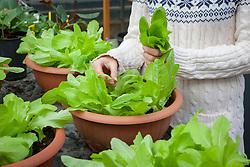 Harvesting pot grown lettuce leaves