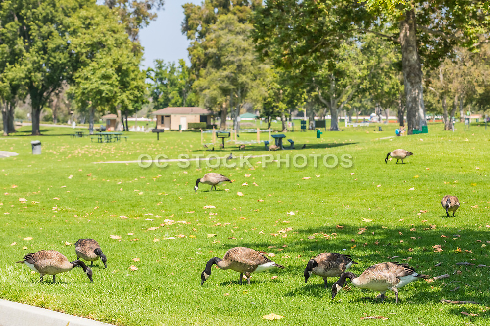 Geese on the Grass at Mason Park