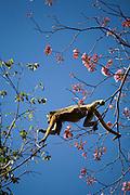 Aquidauana_MS, Brasil...Macaco no galho de uma arvore na fazenda Rio Negro no Pantanal...A monkey in branch tree in Rio Negro farm in the Pantanal...Foto: JOAO MARCOS ROSA / NITRO