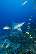sandbar shark, Carcharhinus plumbeus, with bluestripe snapper or taape, Lutjanus kasmira, Honokohau, North Kona, Hawaii ( the Big Island),  United States ( Central North Pacific Ocean )