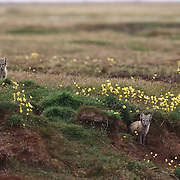 Arctic fox (Vulpes lagopus) pups at the entrance of a den in the Arctic National Wildlife Refuge in Alaska.