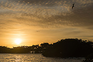 Magnificent Frigatebirds fly at last light in the Everglades as pelicans and cormorants roost below.
